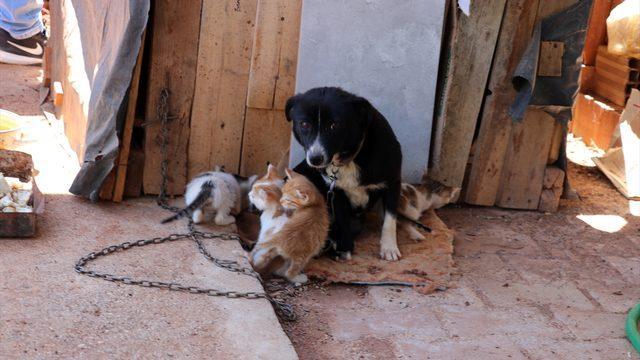 Boncuk isimli köpek, kulübesinin yanında doğan kedi yavrularına gözü gibi bakıyor
