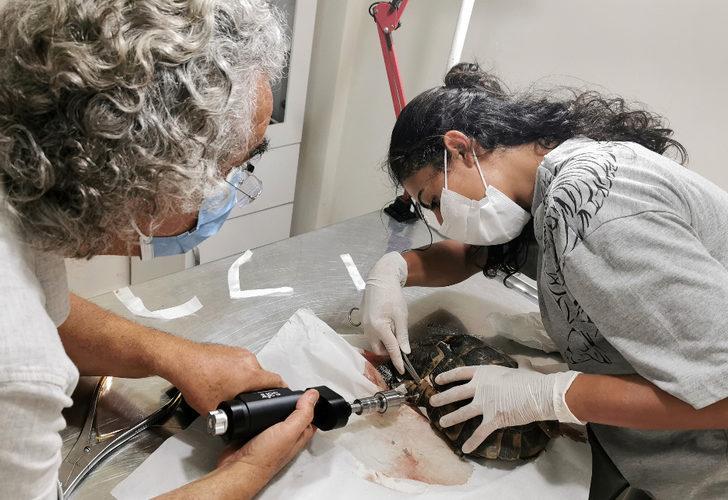 Araç çarpan kaplumbağa, ameliyatından 2 gün sonra öldü