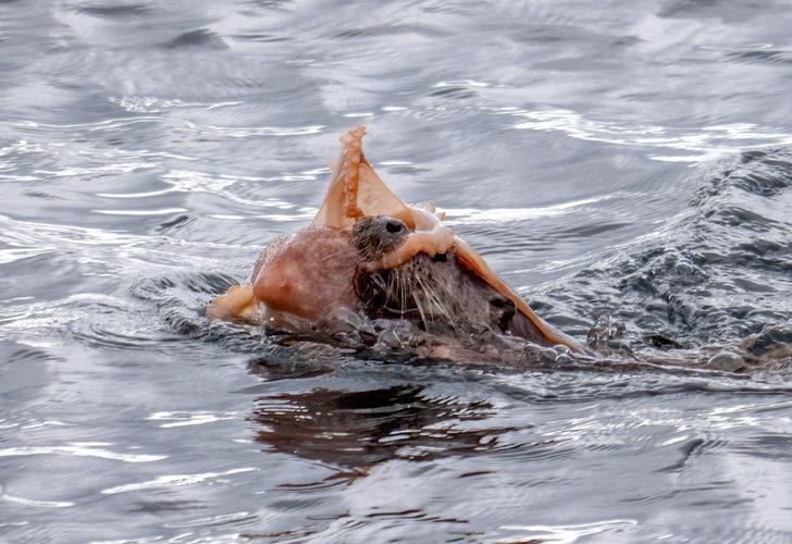 Boynuna dolandı, yüzünü kapattı ama av olmaktan kurtulamadı