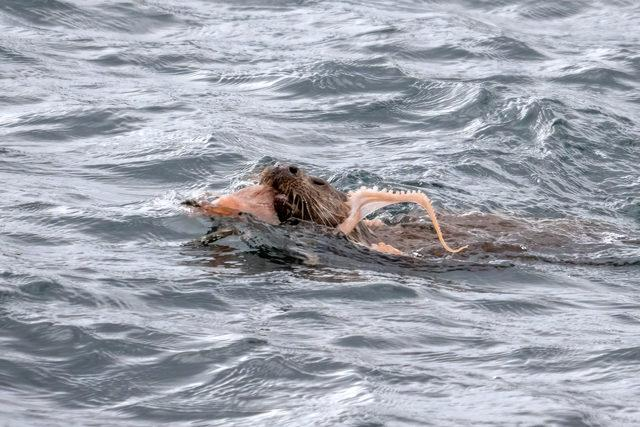 CATERS_OTTER_VS_OCTOPUS_02_3439454