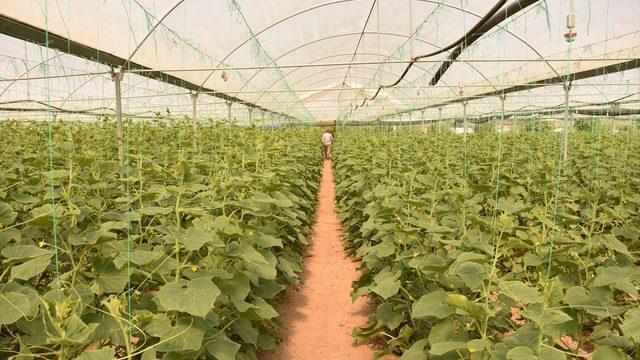 Bilecik'in köylerindeki seralarda salatalık hasadı başladı