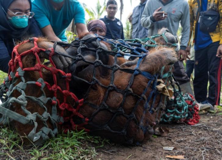 Yeni evine taşındı! 15 yaşındaki orangutanın hüzünlü yolculuğu