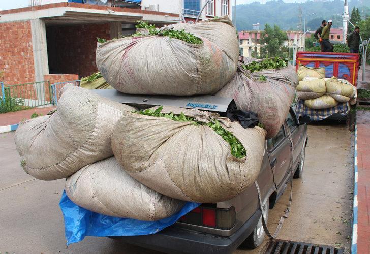 Çay hasadında otomobiller, kamyona dönüşüyor! Lüks araçlarını kullanan bile var