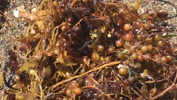 Müsilaj'dan sonra şimdi de Sargassum felaketi! Sargassum nedir? Sargassum neden zararlı?