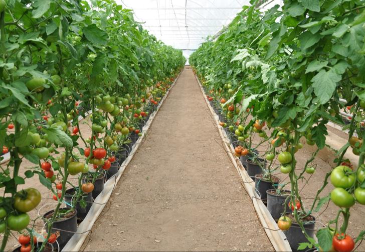 Ünü sınırları aştı! Eynal domatesine coğrafi işaret başvurusu yapıldı