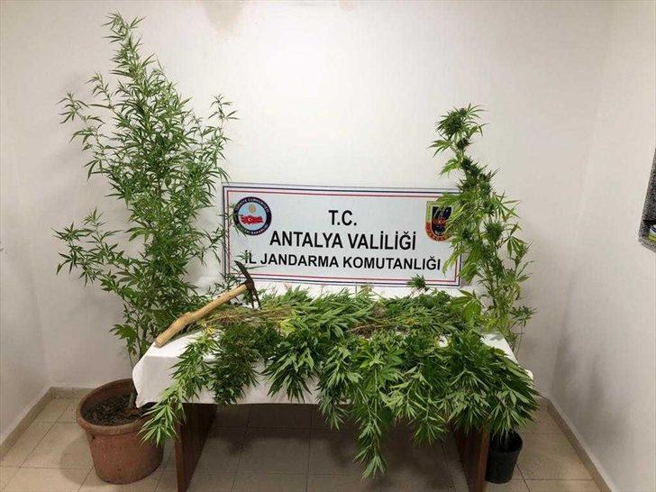 Antalya'da ormanlık alana kenevir ektiği iddia edilen şüpheli yakalandı