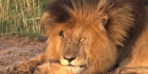 Dünyanın en ünlü aslanı hayatını kaybetti!