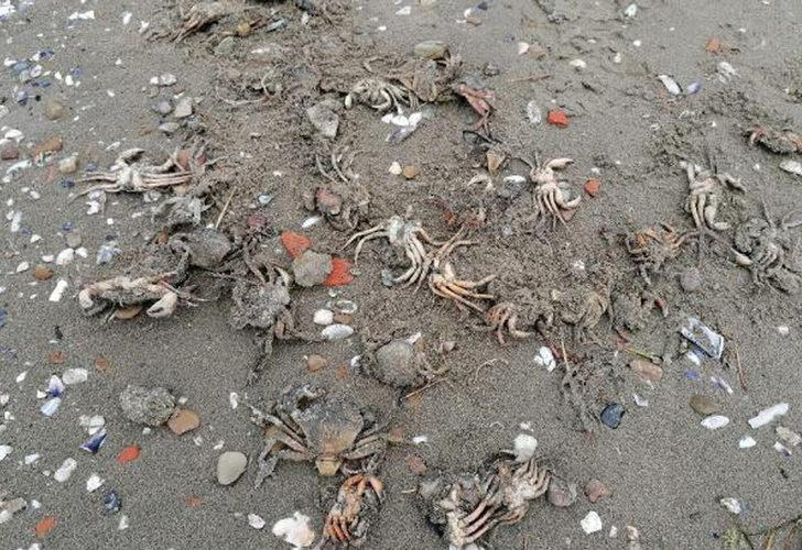 Silivri'de toplu yengeç ölümü