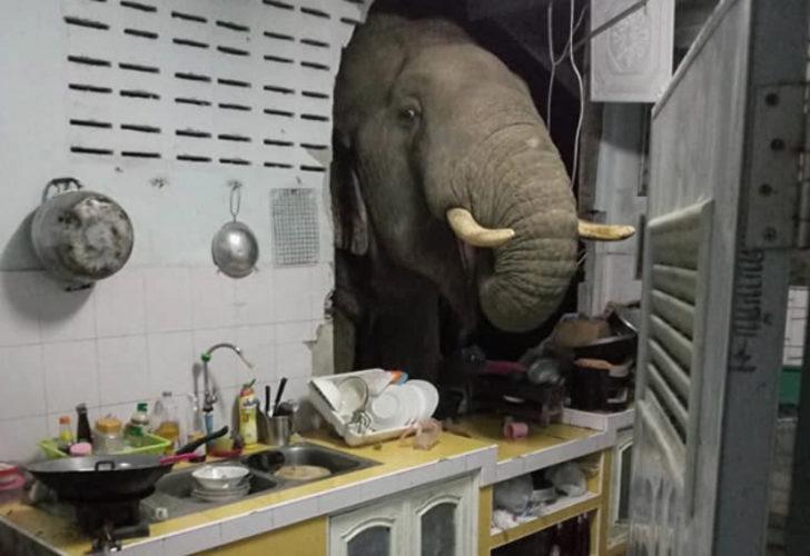 Ev sahipleri gürültüye uyandı! Aç fil, mutfak duvarını yarıp içeri girdi