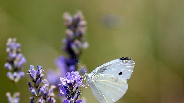 Çukurova'da tıbbi ve aromatik bitki ekim alanı genişliyor