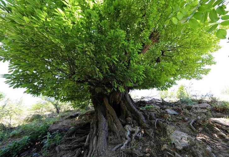 410 yıllık ağaç, 'anıt ağaç' olarak tescillendi! ''Binlerce ağaca ana olacak''