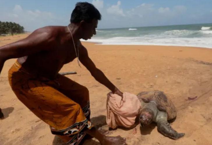 Sri Lanka'da en büyük insan kaynaklı felaket! Ölü kaplumbağalar karaya vurdu, 20 yunus öldü