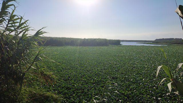 Hatay'da Asi Nehri'nin bir kısmını su sümbülleri kapladı