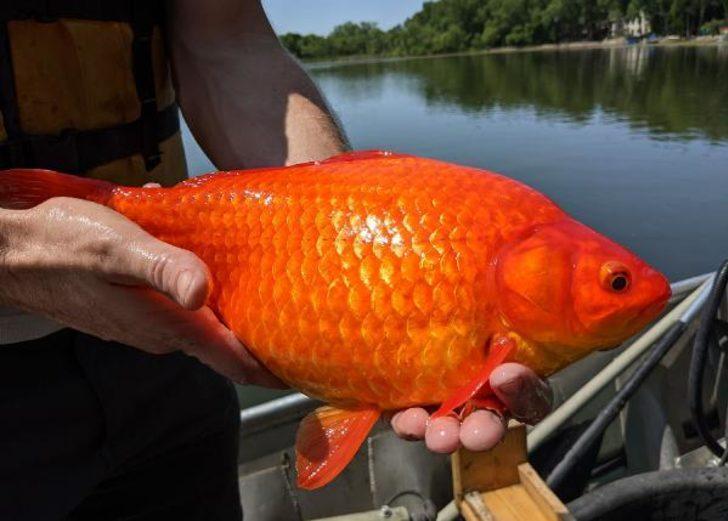 Gölde devasa Japon balığı alarmı