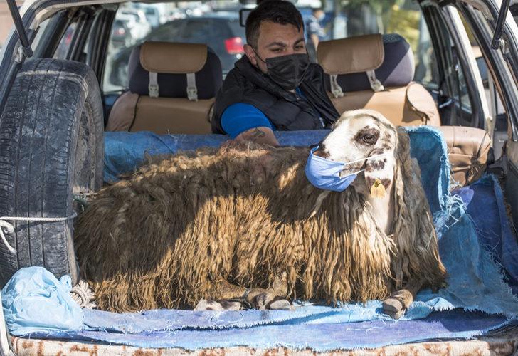 İlginç görüntü! Koyuna maske taktı