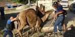 Kurbanlık danalarla yarışıyor! 500 kilo et çıkan develer...