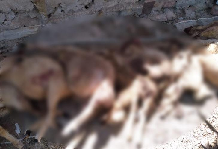 Nevşehir'de kurtlar sürüye saldırdı; 50 koyun öldü