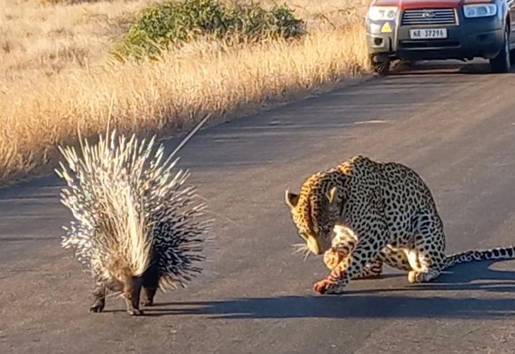 Leoparın 90 dakika süren mücadelesi! Bir av, hiç bu kadar zor olmamıştı