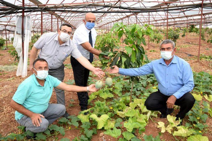 Çiftçiler tropik meyvelere yöneldi! 4 dönümlük seradan 2 çeşit mango üretimi yapılıyor