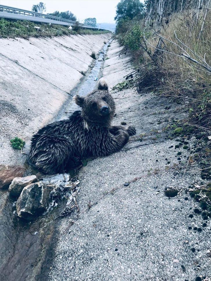 Bolu'da aracın çarptığı ayı yavrusu öldü