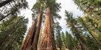 ¡Los árboles más grandes del mundo están amenazados!  Ordenar paso a paso