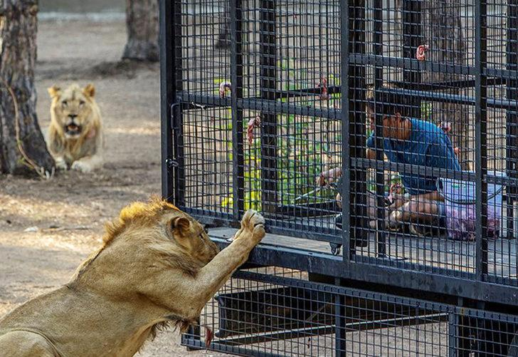 Antalya'da tepki çeken görüntü! Telli kamyonetle aslan safarisi: 20 dakika boyunca aslanların arasında dolaşıyorlar