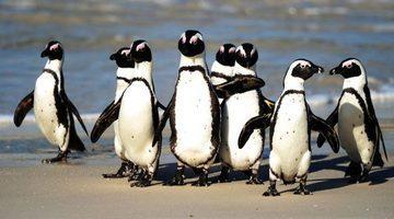 Tehlike altındaki penguenlere arı sürüsü saldırdı