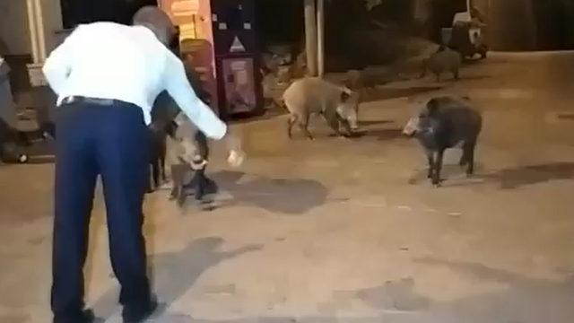 Yaban domuzlarını elleri ile besledi