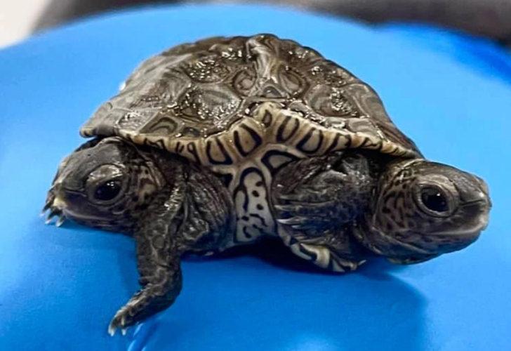 İki başlı, 6 ayaklı kaplumbağa şaşkına çevirdi! Farklı beyinler tarafından yönetiliyor