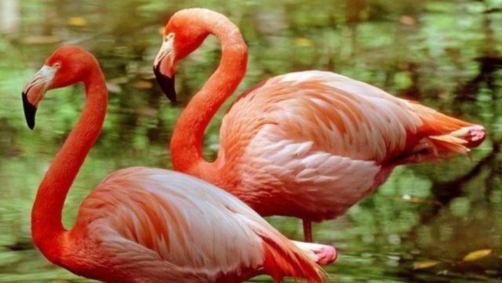 Flamingoların tek ayak üstünde durmasının sırrı ne?