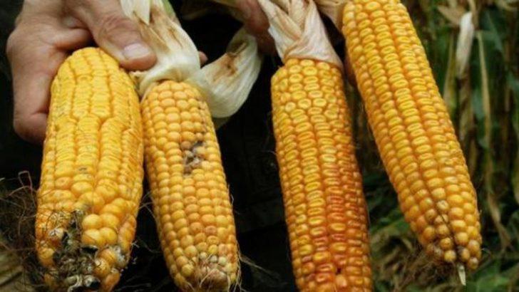 GDO'lu mısır tartışması