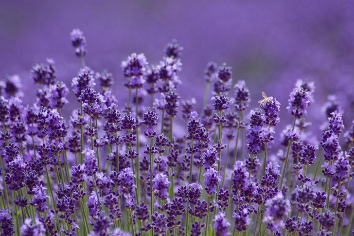 Doğanın mucizesi: Bu mor bitki kanser tedavisinde kullanılıyor