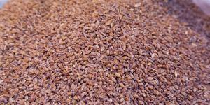Tarihi 10 bin yıl öncesine dayanan ilk buğday: Siyez buğdayı