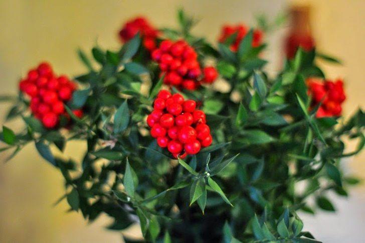 Efsanesini öğrenip satın alın! Yılbaşı çiçeği KOKİNA