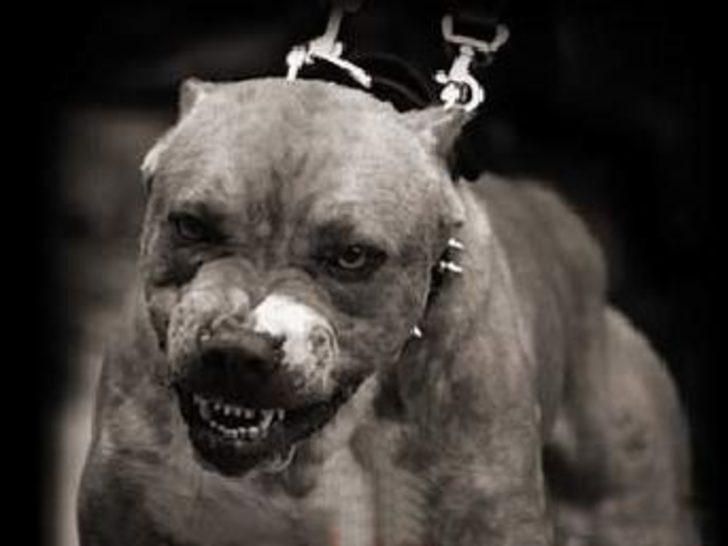 Polise Pitbull köpekleriyle karşı koydular