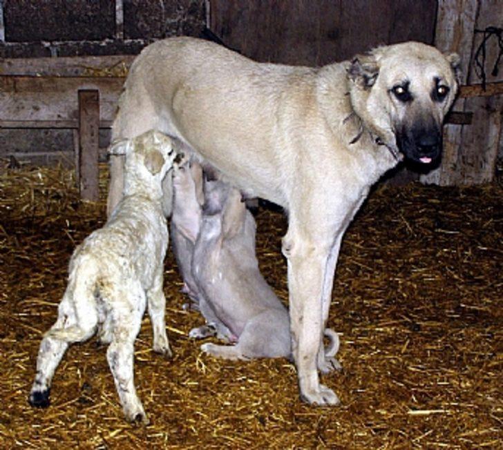 Annesiz kalan kuzuları köpek emziriyor