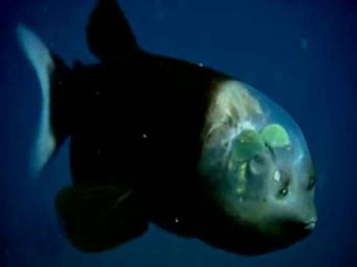 Beyni görünen şeffaf balık