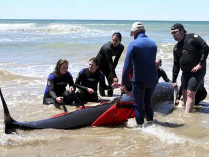 Avustralya'da 50 balina karaya vurdu