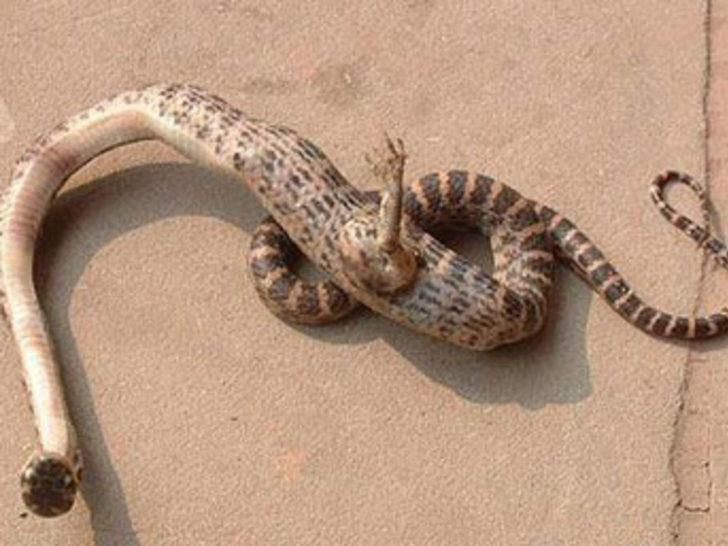 Ayaklı yılan bulundu!