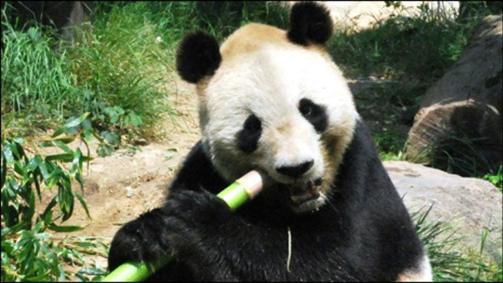Çin'le Japonya'yı geren Panda'nın hikayesi