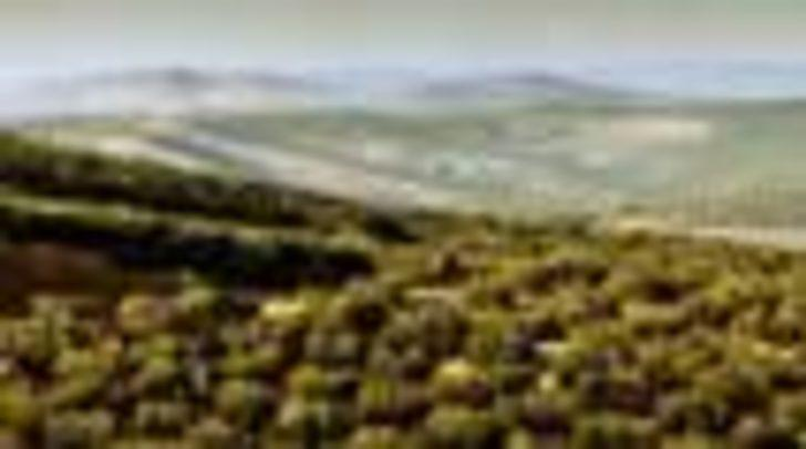 İspanya'da 2000 yıllık zeytin ağaçları