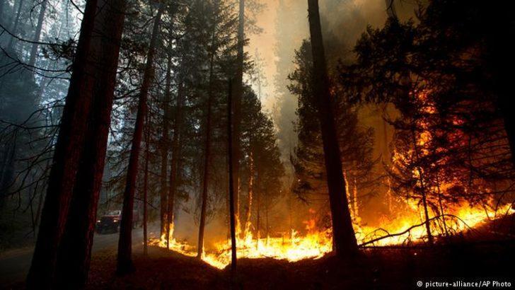 Dünyanın en yaşlı ağaçları yanıyor