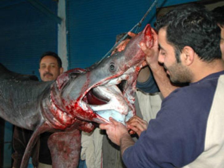 3 metrelik dişşiz köpek balığı