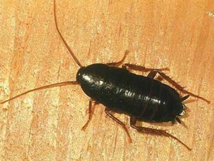 Hamamböceklerinde antibiyotik umudu