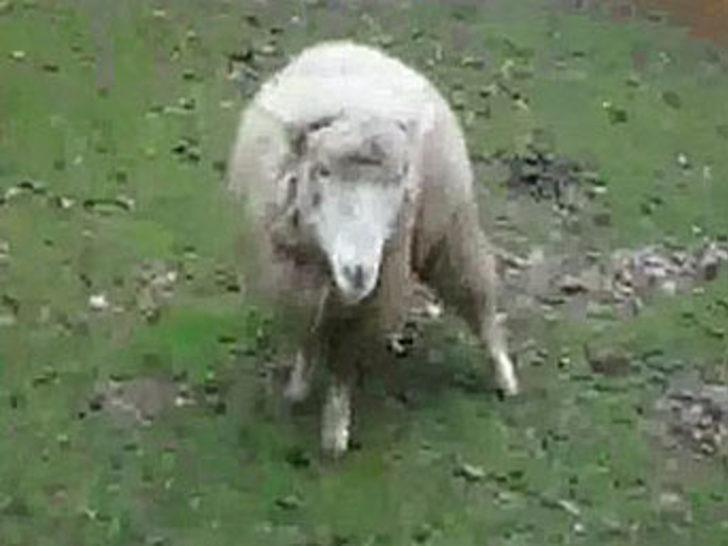Şizofren koyunun intikamı