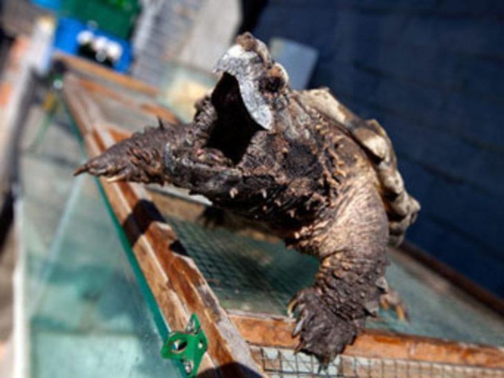 Timsah yiyen kaplumbağa!