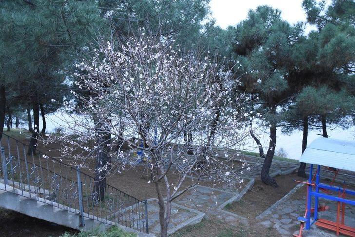 Şeftali ağacı Şubat'ta çiçek açtı