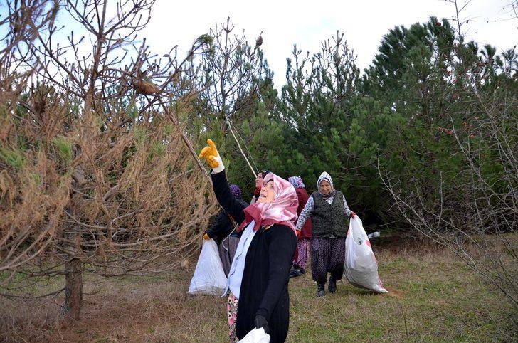 Çam kese böceklerinin tehdit ettiği ormanı, kadınlar kurtarıyor