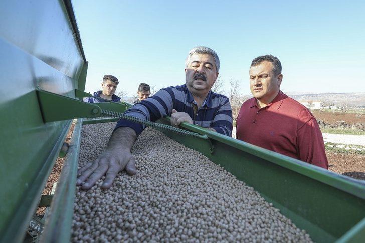Büyükşehirin dağıttığı nohutların ekimine başlandı