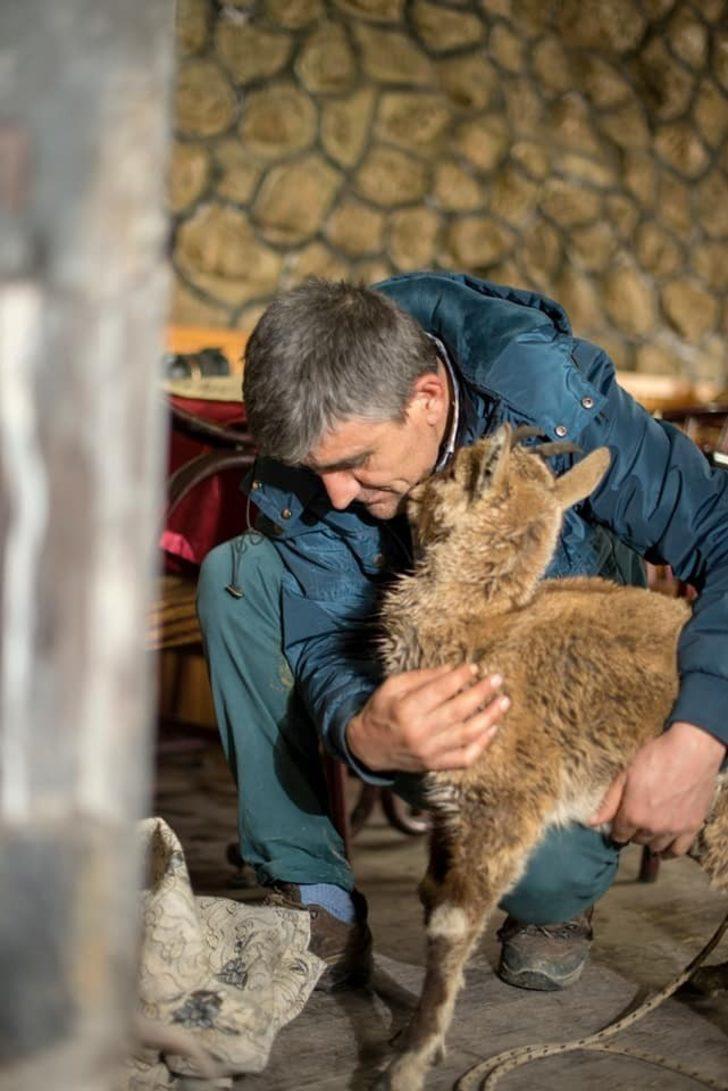 Yolunu kaybeden dağ keçisi yetkililere teslim edildi